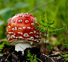 Amanita Muscaria by Sally Winter