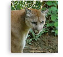 Cougar/Puma~ Canvas Print