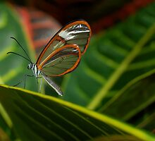 Invisible Butterfly by Lin Taylor