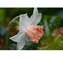 New Daffodils in the Conservatory Photographic Print