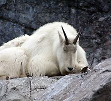 Rocky Mountain Goat by Alyce Taylor