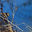 White Crowned Sparrow by flyfish70