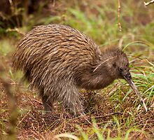 Stewart Island Kiwi - New Zealand by Kimball Chen