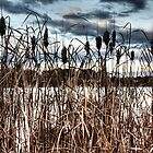 Lake Ginninderra Reeds by Bluesoul Photography