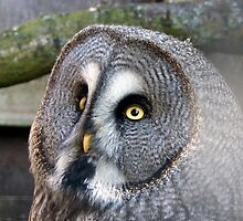 Great Grey Owl by MisterD