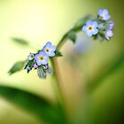 Blooming myosotis by hawkea