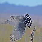 Grey Hawk  by Judy Grant