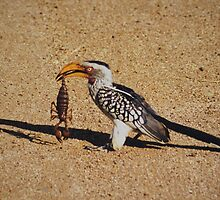 Yellow Billed Hornbill with Scorpion Meal taken at Kruger National Park by eyedocbrian
