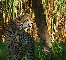 Cheetah by Eve Parry