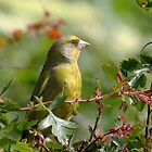 Greenfinch by Peter Stone