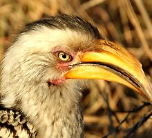 Yellow Billed Hornbill - Portrait by eyedocbrian