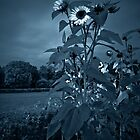 Sunflowers with the blues.. by Marita Toftgard