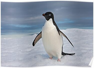 Adelie Penguin seeks Fame by Robert van Koesveld