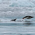Snorkelling Gentoo Penguins by Robert van Koesveld