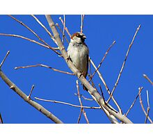 House Sparrow ~ Male Photographic Print