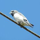 ~ A White-Breasted Woodswallow ~ by Donna Keevers Driver