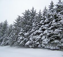 Snow on the pines by Roger-Cyndy
