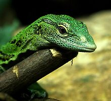 Standing's Day Gecko by Mark Hughes