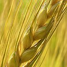Wheat Cob by Mukesh Srivastava