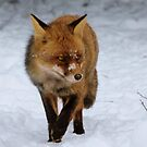 Red Fox in the snow by DutchLumix