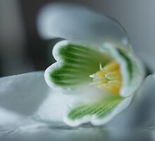 Found a SnowDrop in my Garden Today  - JUSTART © by JUSTART