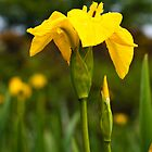 Plant, Wild flower, Yellow Flag , Iris pseudacorus by Hugh McKean