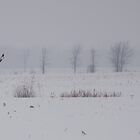 Rough-Legged Hawk over Field by Benjamin Brauer