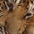 Emotion on a Tiger's face by scotgates