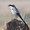 Grey Shrike by upadhyay