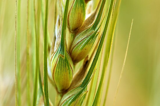 Wheat Crop Close Up by Mukesh Srivastava