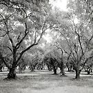 Olive Grove by Harvey Schiller