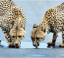 UP CLOSE WITH CHEETAH'S - CHEETAH – Acinonyx jabatus – Die Jagluiperd by Magaret Meintjes