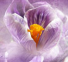 Crocus with cracks by Olga