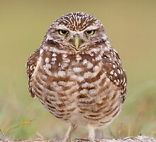 Burrowing Owl looking unimpressed. by Daniel Cadieux