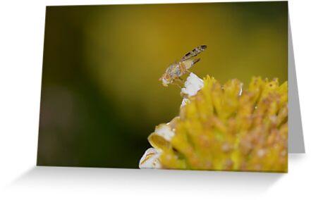 3mm Fruit Fly by Macky