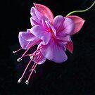 Fuchsia Heidi-Ann by Tom Newman