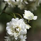 White in Bloom by Joy Watson