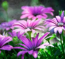 Purple Daisies  by Saija  Lehtonen
