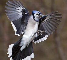 Blue Jay by PixlPixi