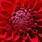 Bright Red Dahlia  by Bev Pascoe