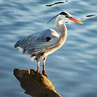 Great Blue Heron by loiteke