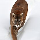 Cougar by Nancy Barrett