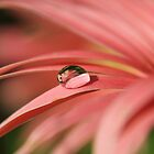 Gerbera Reflection by Amy Dee