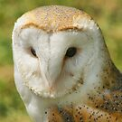 Barn Owl  (Tyto Alba) by Sandra Cockayne