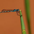 Damselfly by Eve Parry