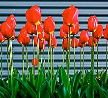 Red tulips and metal ! by siggabach