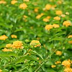 yellow lantana by rajeshbac