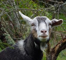 Billy Goat - Here`s lookin at you Kid! by ArundelArt