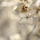 Hydrangea by Matthew Folley