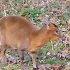 cute little deer by Steve